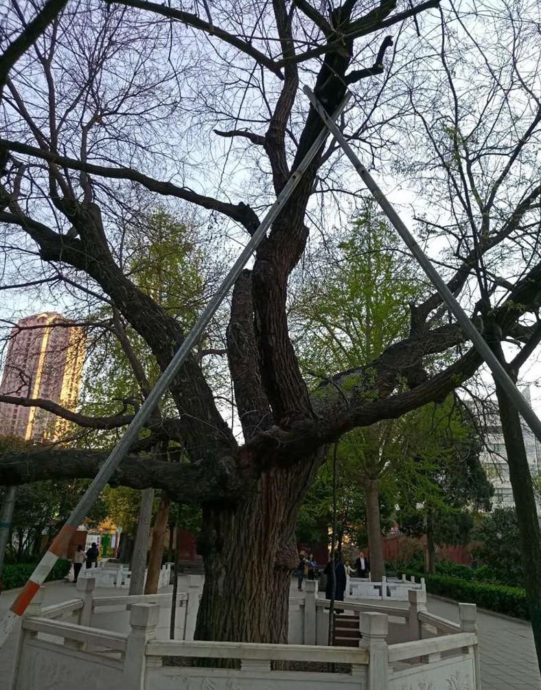 古树衰弱症状_20201105_175309892
