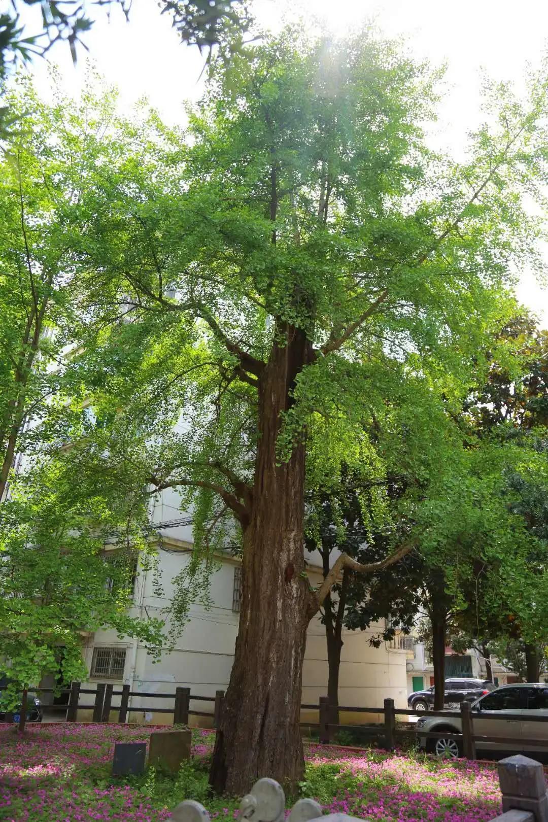 名木古树管理日常养护该如何做?
