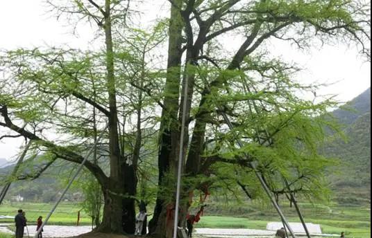 古树复壮:名木古树养护有哪些措施?