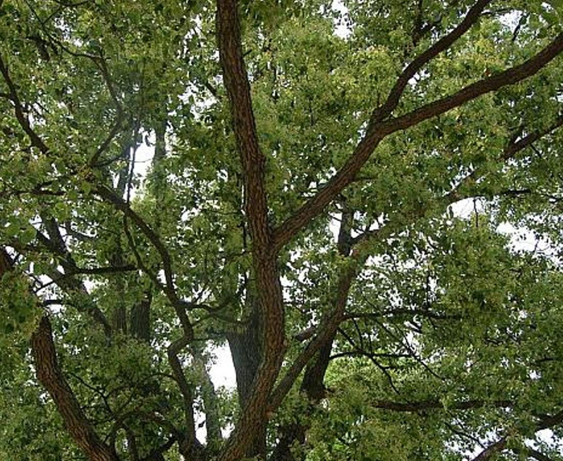 古树复壮:施肥是提供古树成活率重要步骤