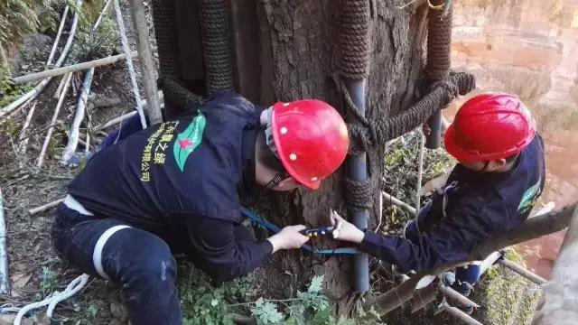 名木古树移栽如何做好树体水分平衡