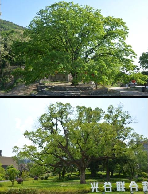 12湖北省黄石市古树名木资源普查建档项目2