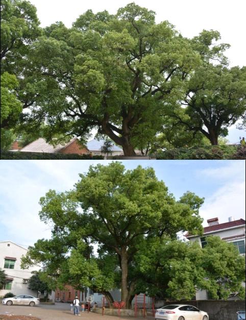12湖北省黄石市古树名木资源普查建档项目3