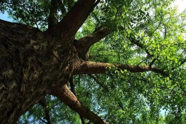 古樹複壯:樹木長勢弱原因及複壯方法