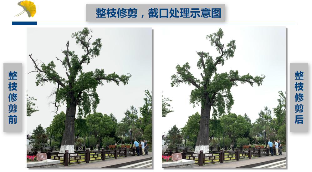 古树复壮养护