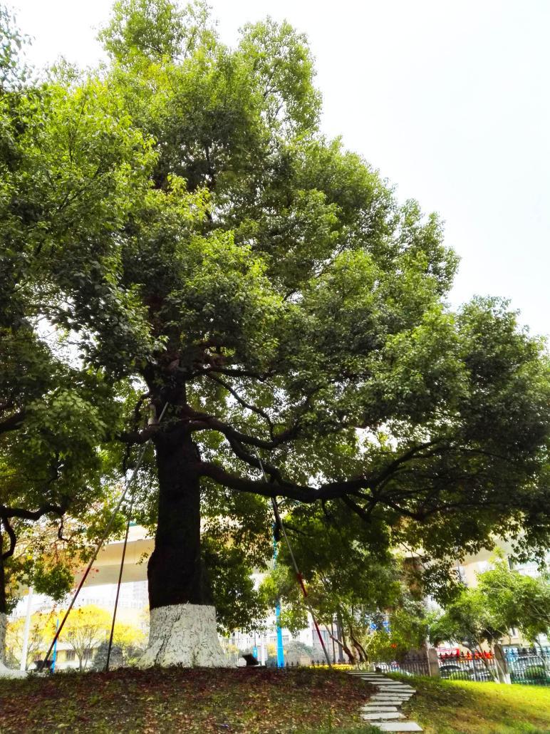 名木古树复壮