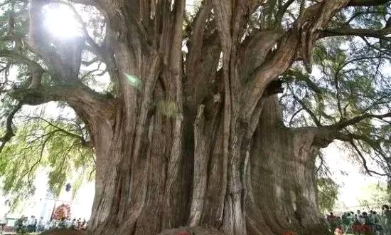 名木古树园林医生古树养护措施