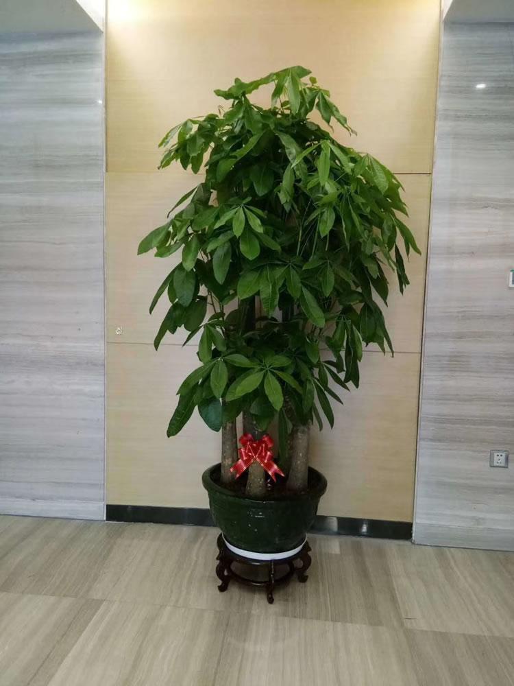 五枝发财树