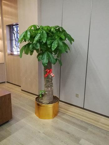 独枝发财树