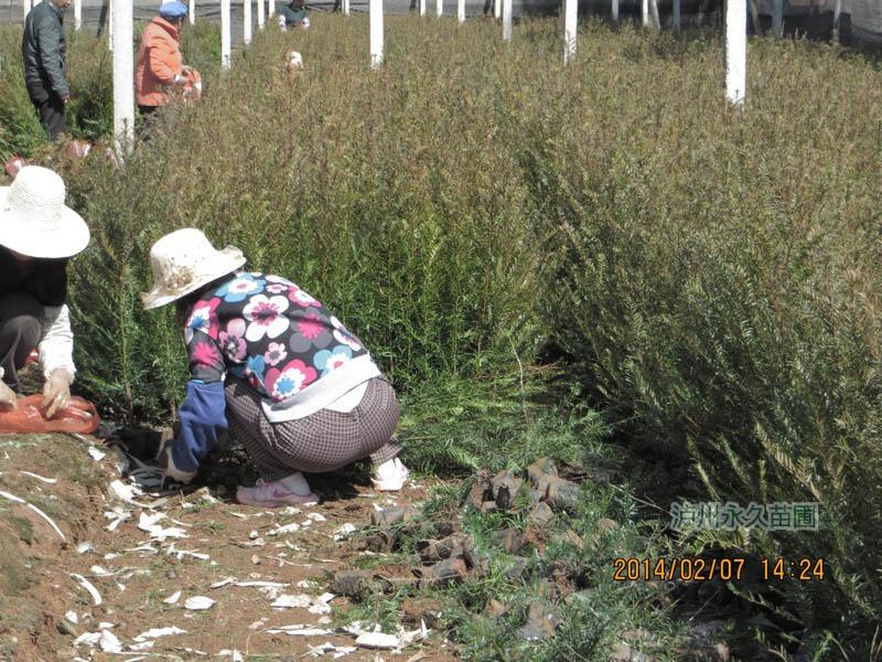 南方红豆杉苗