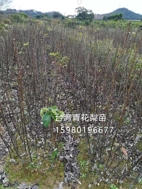 台湾青花梨1