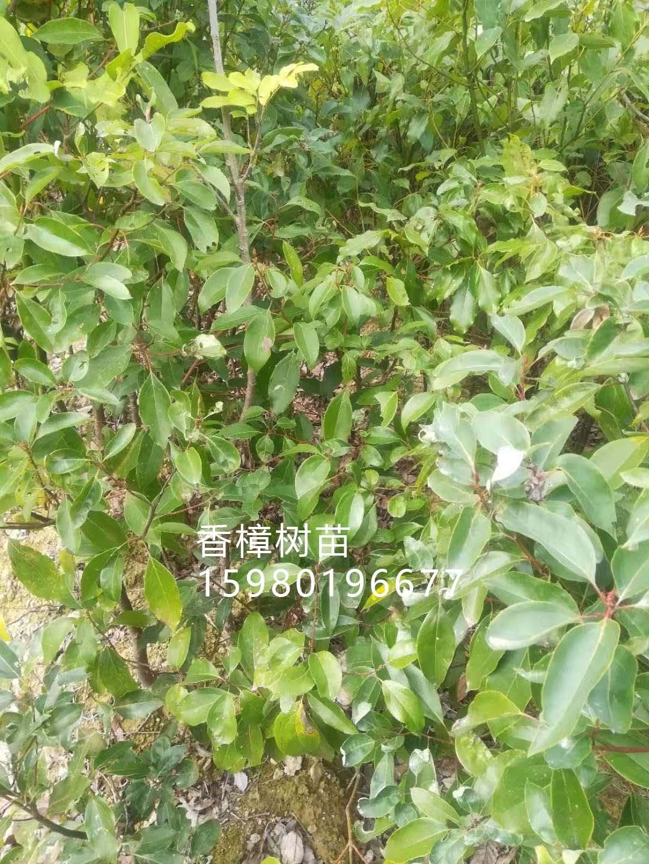 香樟树苗1