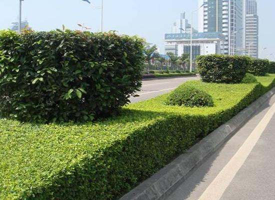 成都绿化常见的绿植病虫害