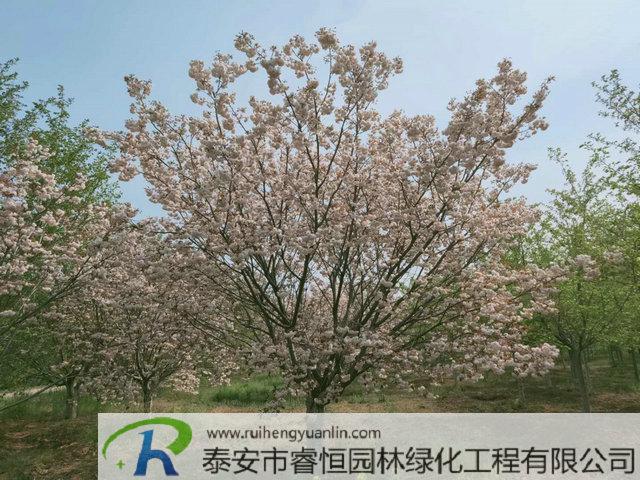普贤象樱—城市、公园景区绿化的樱花最佳品种