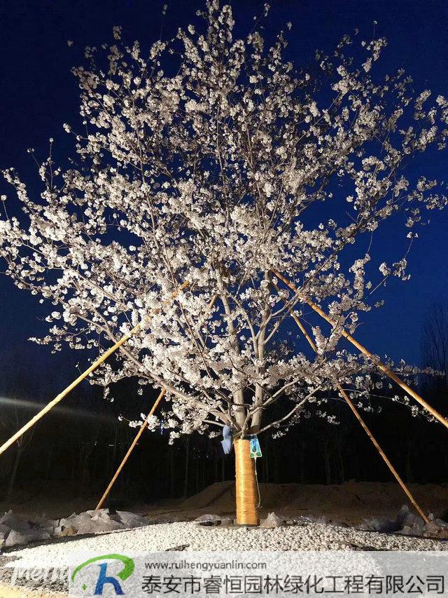 樱花的开放时间和花期