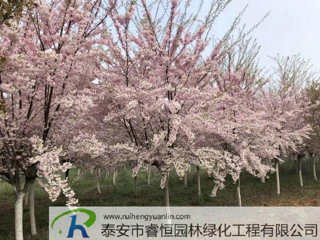 泰安樱花品种