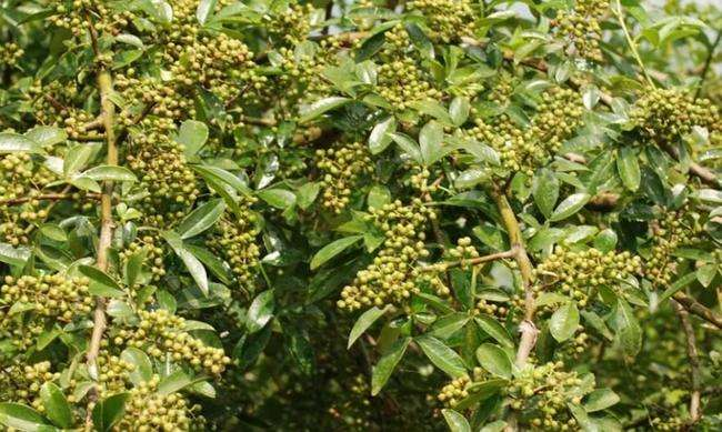 富平花椒:棵棵花椒树 粒粒是财富