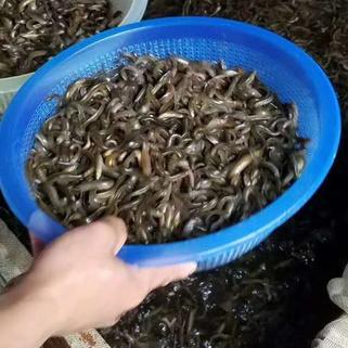 泥鳅大规格苗