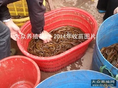 大众养殖基地2014年黄鳝养殖情况展示