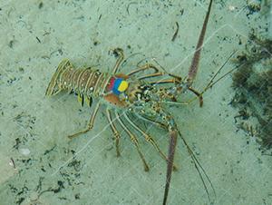 Conservation Physiology:夜间光污染对龙虾会造成影响吗?