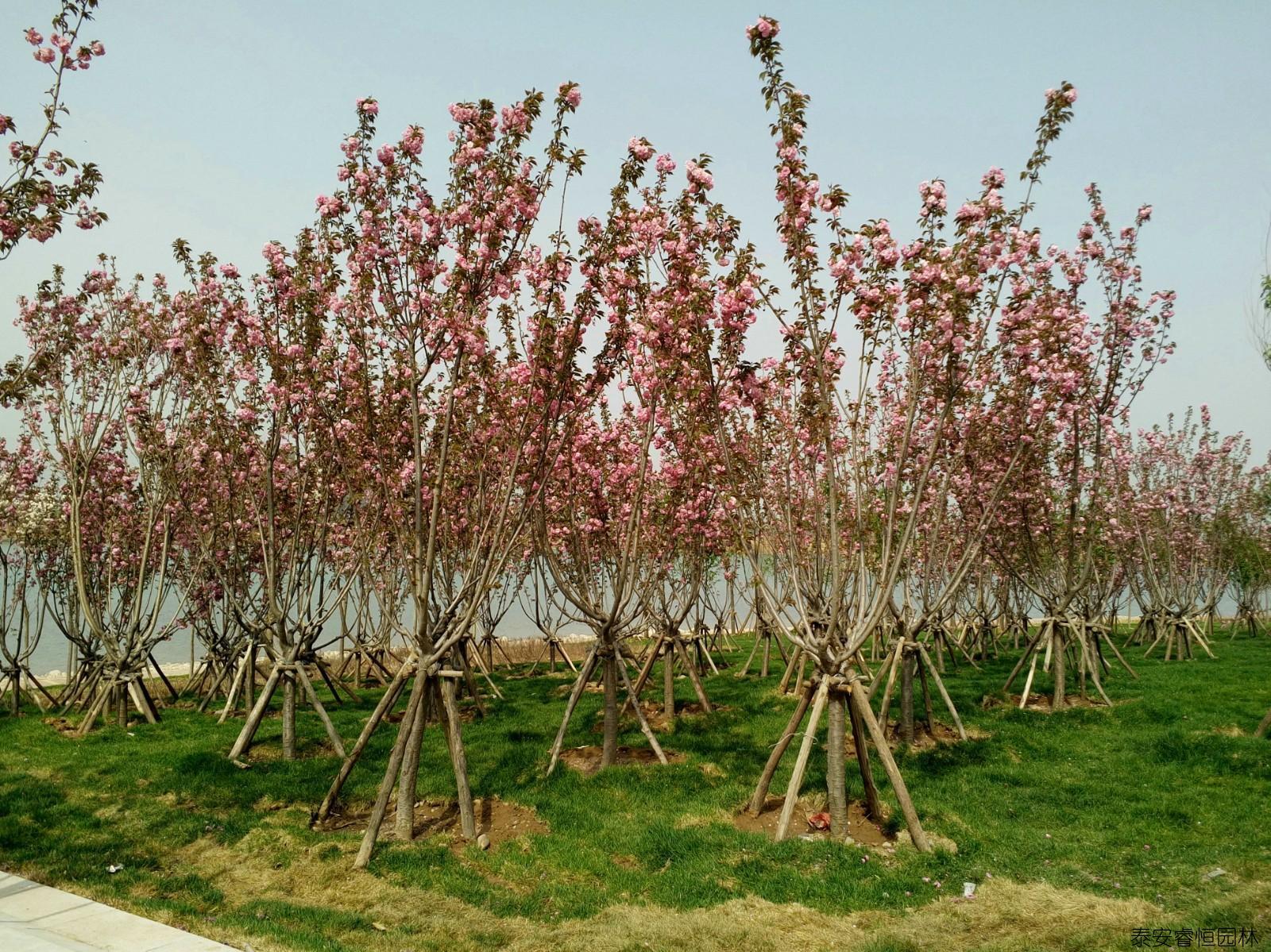 鹤壁淇水樱花公园案例