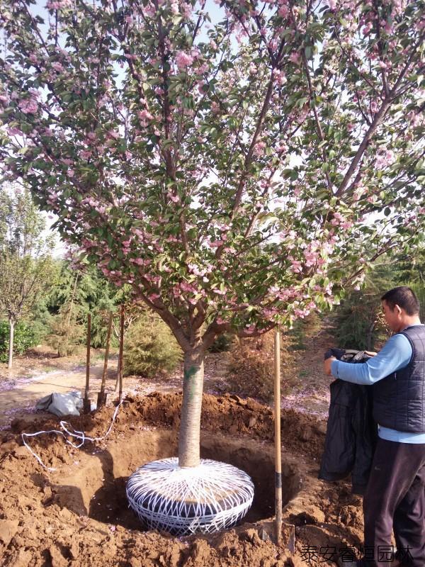 樱花基地樱花树起苗装车案例