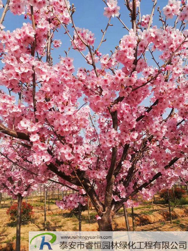 泰安樱花品种种植繁育基地