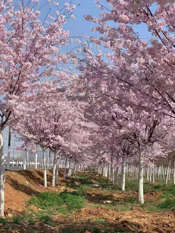 你知道那里有多少种樱花吗?