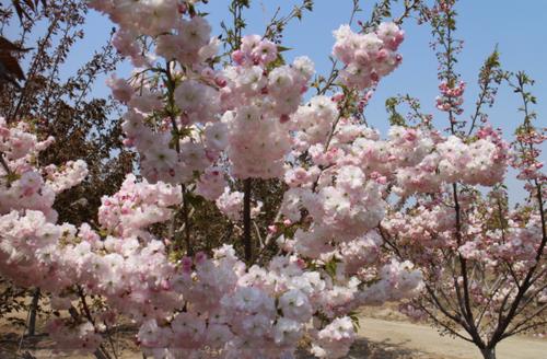 樱花品种|江户彼岸樱|染井吉野樱|雅樱|大岛樱|阳光樱|郁金樱|松月樱