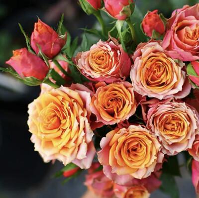 盆栽月季的价格,盆栽月季如何选苗?