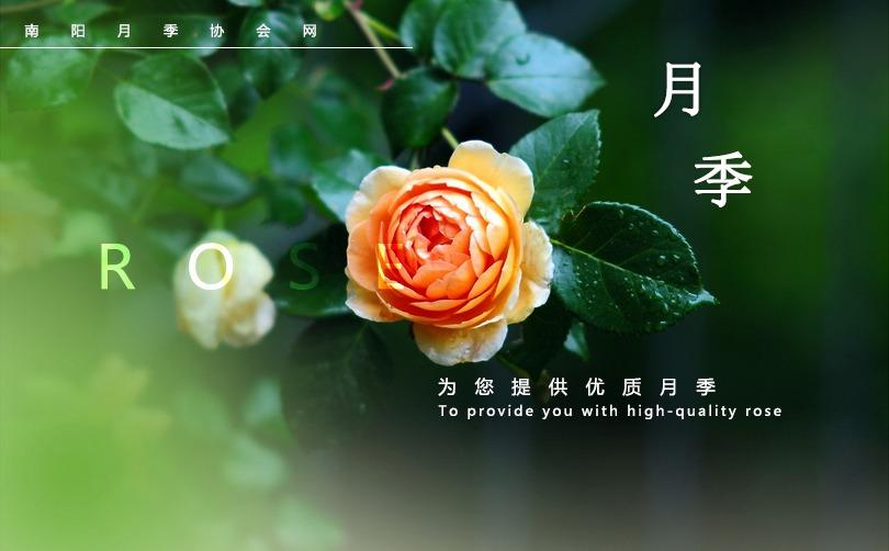 南阳月季协会网