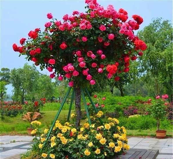 广东一市长亲自栽种南阳月季?树状月季成友谊代名词!