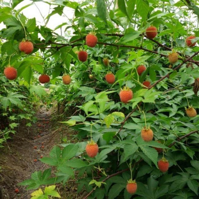 覆盆子种子种苗