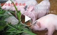 甜象草高产种植技术与台湾甜象草应用及实践