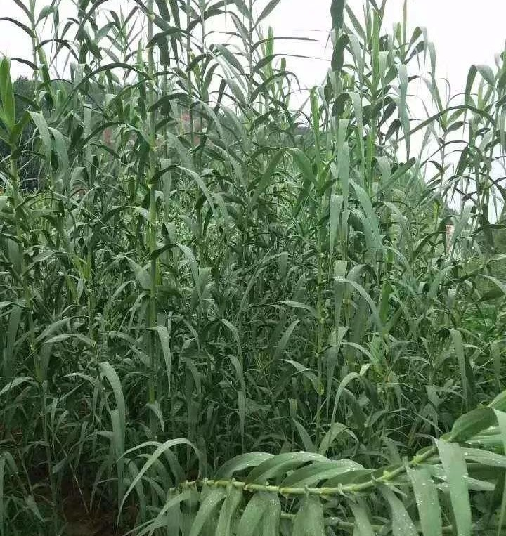 绿洲一号牧草种苗