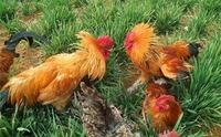 甜象草喂鸡好!台湾甜象草林地饲养土养鸡管理与经验总结