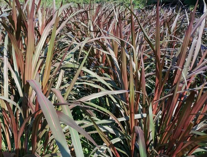 紫色皇竹草