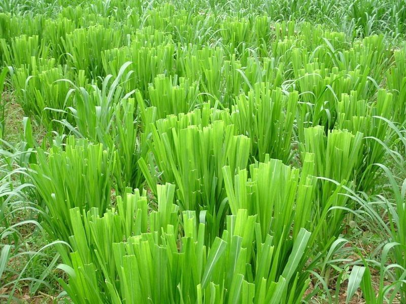新型皇竹草1