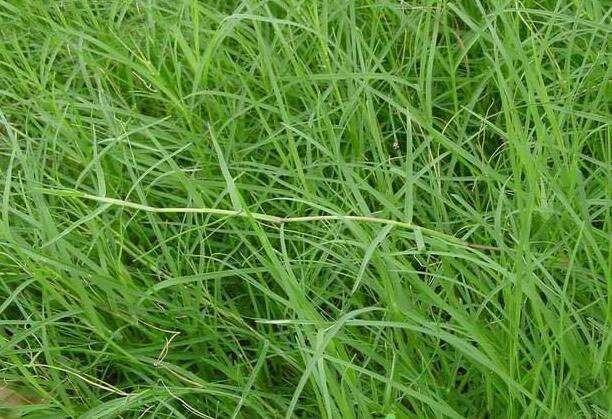 高羊茅种子护坡