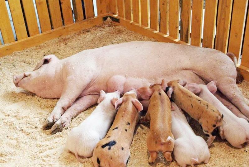 精准营养 | 仔猪的6个关键时期