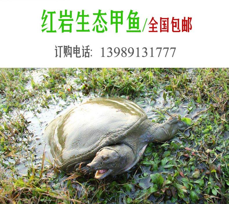生态甲鱼-基地自产-全国包邮,咨询电话:13989131777