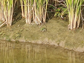 蛙稻米实景