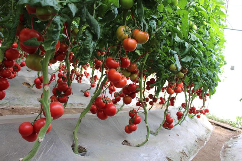 番茄品种表现