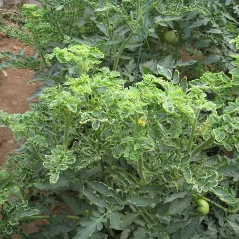 番茄褪绿病毒在山东暴发及其防治措施