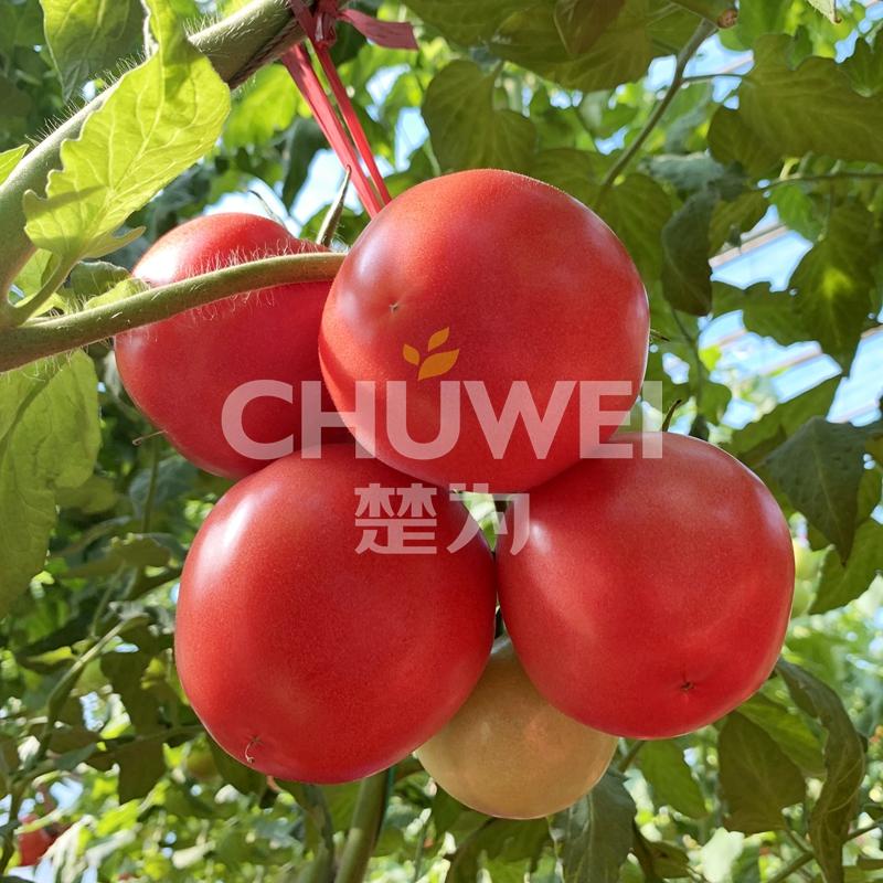 Chu Fen 8A06