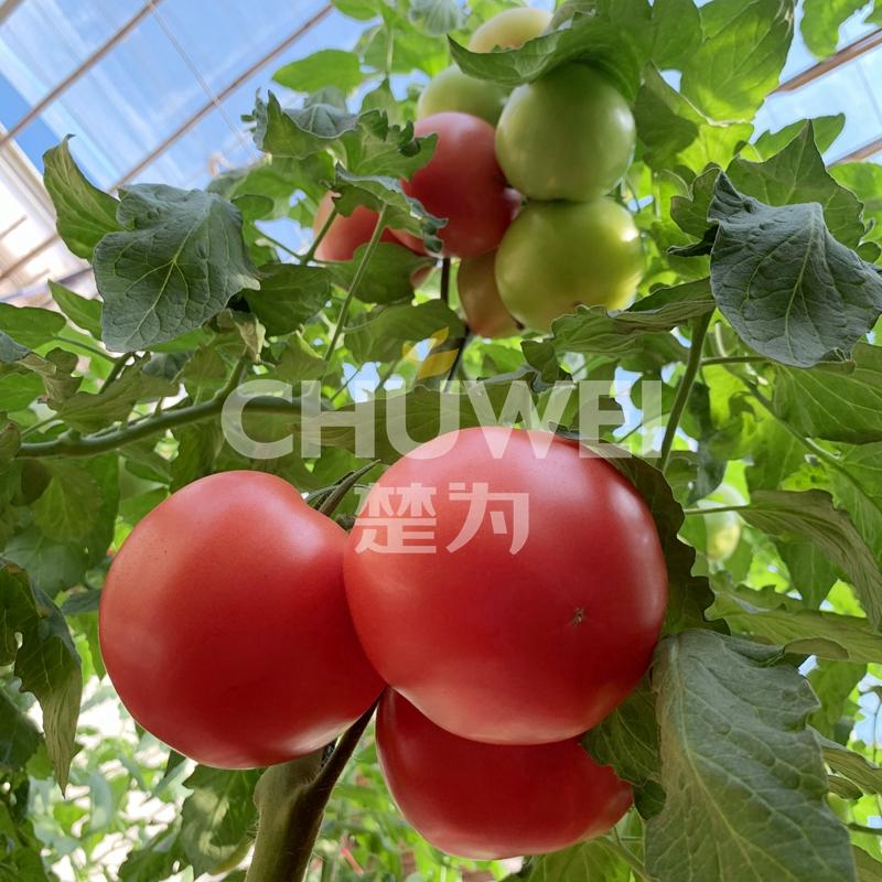 Chu Fen 8A09