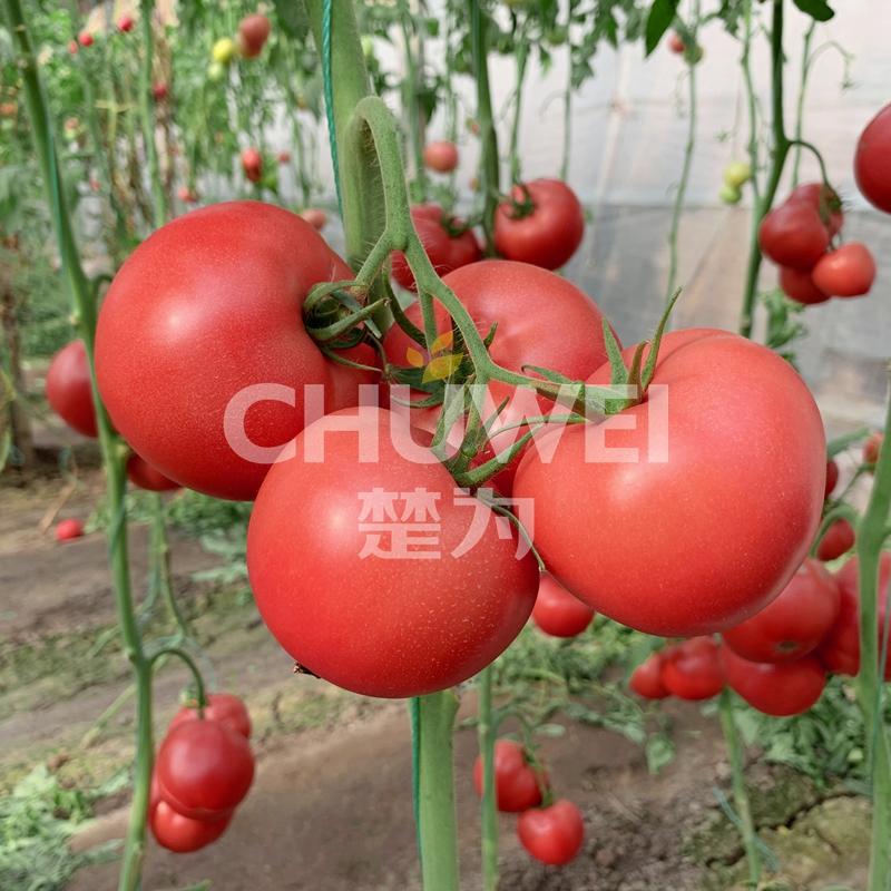 Chu Fen 8A20