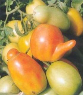 番茄畸形果的防治措施
