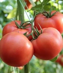 番茄转色不均原因分析