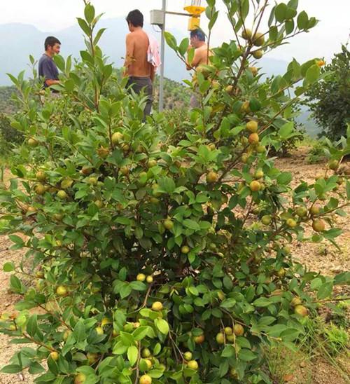 油茶籽种植基地